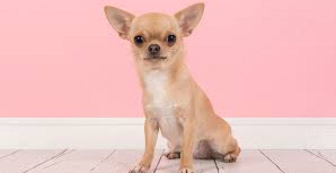 Spay And Neuter Chihuahuas All You Need To Know