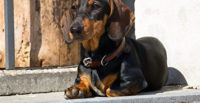 Spay And Neuter Dachshunds – All You Need To Know
