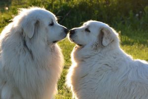 Spay And Neuter Great Pyrenees