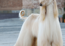 Spay and Neuter Afghan Hounds – All You Need to Know