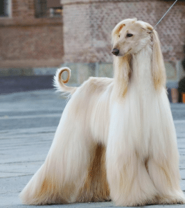 Spay And Neuter Afghan Hounds