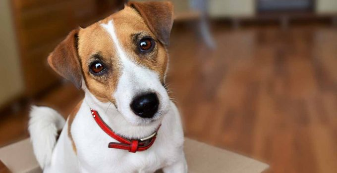 Spay And Neuter Jack Russell Terrier