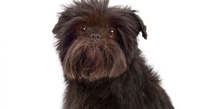 Why Does My Affenpinscher Growl At Me