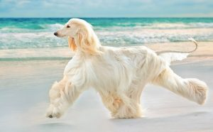 Why Does My Afghan Hound Growl At Me