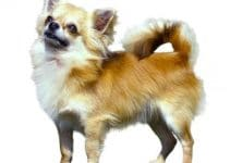 Why Does My Chihuahua Growl At Me?