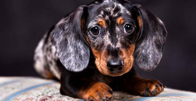 Why Does My Dachshund Growl At Me
