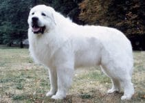 Why Does My Great Pyrenees Growl At Me