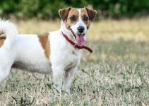 Why Does My Jack Russell Terrier Growl At Me
