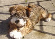Best Puppy Food For Tibetan Terriers