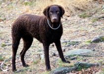 5 Best Dog Beds for Curly Coated Retrievers (Reviews Updated 2021)