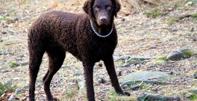 Best Dog Beds For Curly Coated Retrievers
