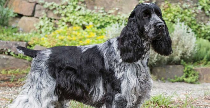 Best Dog Beds For English Cocker Spaniels
