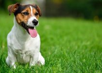 5 Best Dog Beds for Jack Russell Terriers (Reviews Updated 2021)
