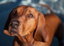 Best Dog Beds For Redbone Coonhounds