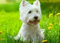 5 Best Dog Beds for West Highland White Terriers (Reviews Updated 2021)