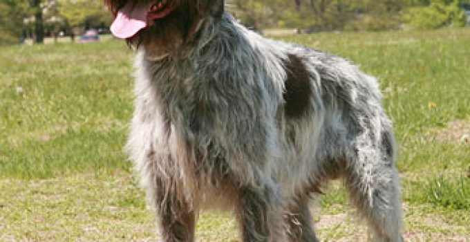Best Dog Beds For Wirehaired Pointing Griffons