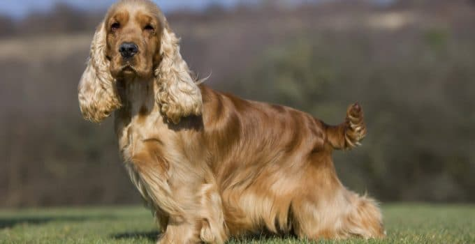 Best Dog Brushes For English Cocker Spaniels