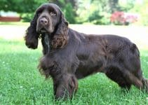 Best Dog Brushes For Field Spaniels