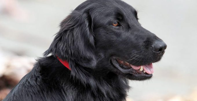 Best Dog Brushes For Flat Coated Retrievers