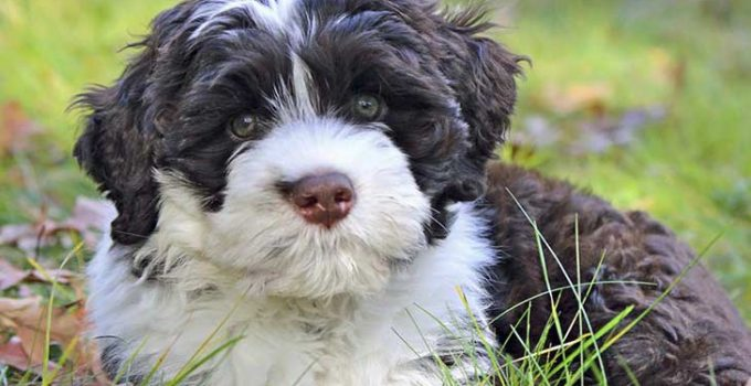 Best Dog Brushes For Portuguese Water Dogs