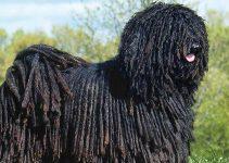 Best Dog Brushes For Puli
