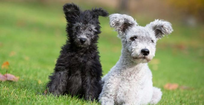 Best Dog Brushes For Pumi