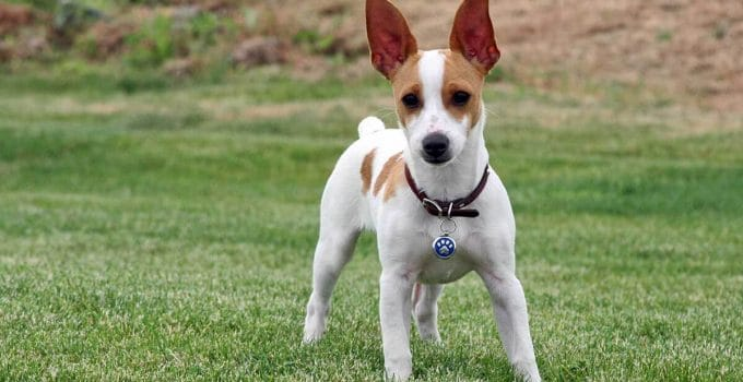 Best Dog Brushes For Rat Terriers
