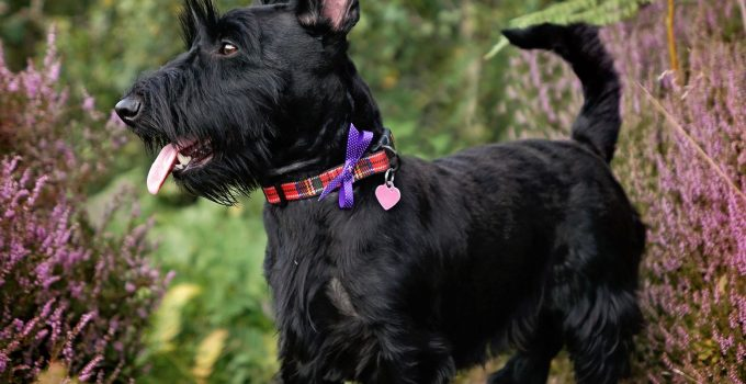 Best Dog Brushes For Scottish Terriers