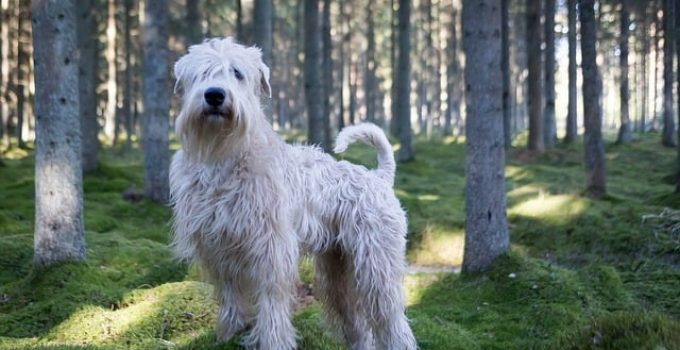 Best Dog Brushes For Soft Coated Wheaten Terriers