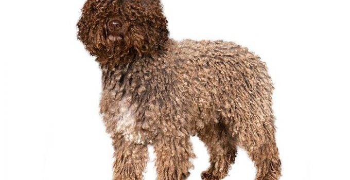 Best Dog Brushes For Spanish Water Dogs