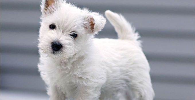 Best Dog Brushes For West Highland White Terriers