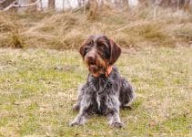 5 Best Dog Brushes for Wirehaired Pointing Griffons (Reviews Updated 2021)