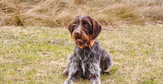 Best Dog Brushes For Wirehaired Pointing Griffons