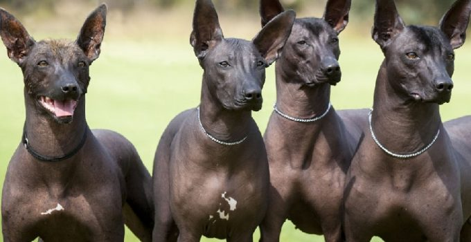 Best Dog Brushes For Xoloitzcuintlis