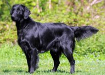 5 Best Dog Collars for Flat Coated Retrievers (Reviews Updated 2021)
