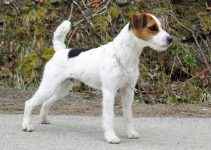 Best Dog Collars for Jack Russell Terriers