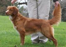 Best Dog Collars For Nova Scotia Duck Tolling Retrievers