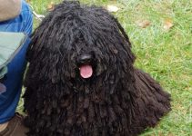 Best Dog Collars For Puli