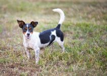 Best Dog Collars For Rat Terriers
