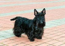 5 Best Dog Collars for Scottish Terriers (Reviews Updated 2021)