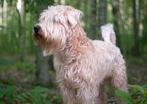 Best Dog Collars For Soft Coated Wheaten Terriers