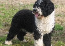 Best Dog Collars For Spanish Water Dogs