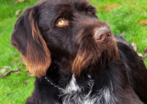 Best Dog Collars For Wirehaired Pointing Griffons