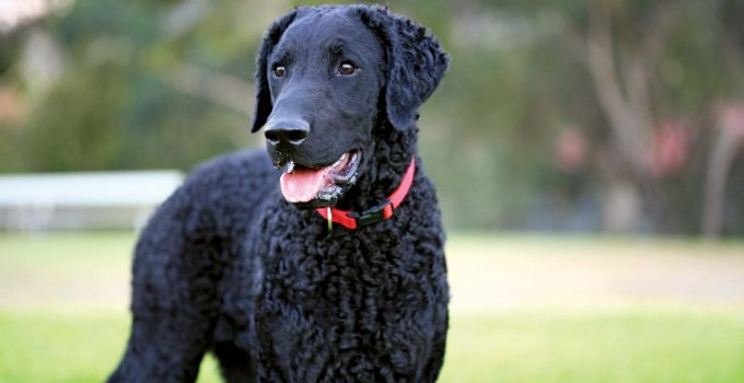Best Dog Crates For Curly Coated Retrievers