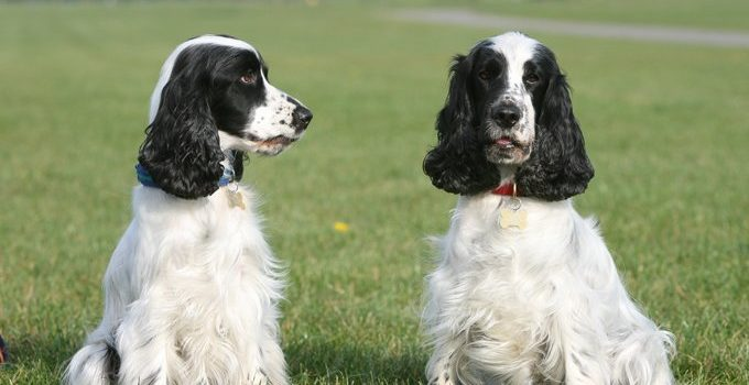 Best Dog Crates For English Cocker Spaniels