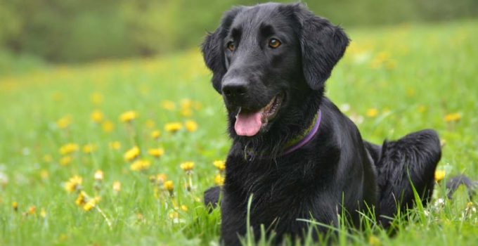 Best Dog Crates For Flat Coated Retrievers