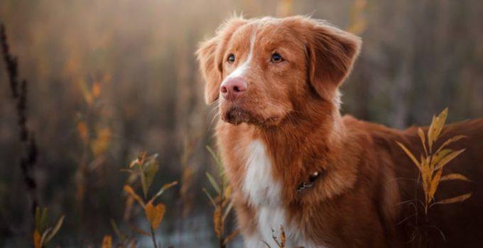Best Dog Crates For Nova Scotia Duck Tolling Retrievers