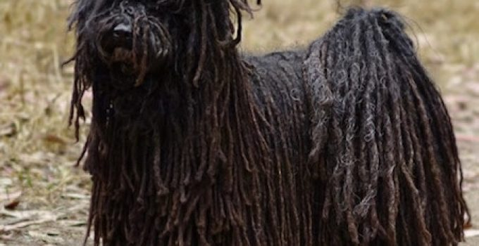 Best Dog Crates For Puli