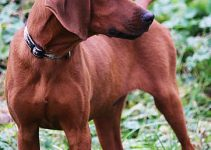Best Dog Crates For Redbone Coonhounds