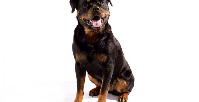 Best Dog Crates For Rottweilers